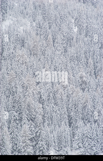 snow covered coniferous forest - Stock Image