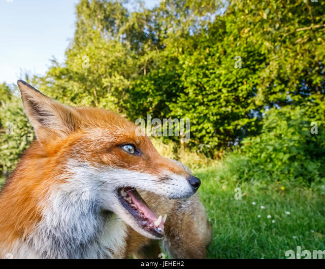 British wildlife: Fox (Vulpes vulpes), British Wildlife Centre, Newchapel, Lingfield, Surrey, UK - Stock Image