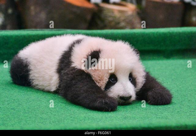 Kuala Lumpur, Malaysia. 17th Nov, 2015. The giant panda cub is seen at the National Zoo in Kuala Lumpur, Malaysia, - Stock Image