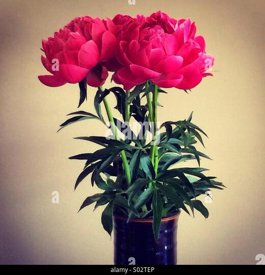 Pink peonies - Stock Image