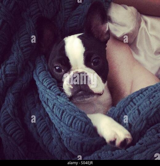 French Bulldog puppy - Stock-Bilder