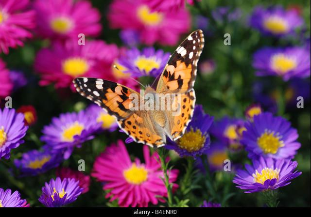 beautiful butterfly on purple flower - Stock Image