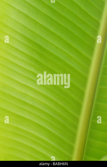 Banana leaf for backgrounds - Stock Image