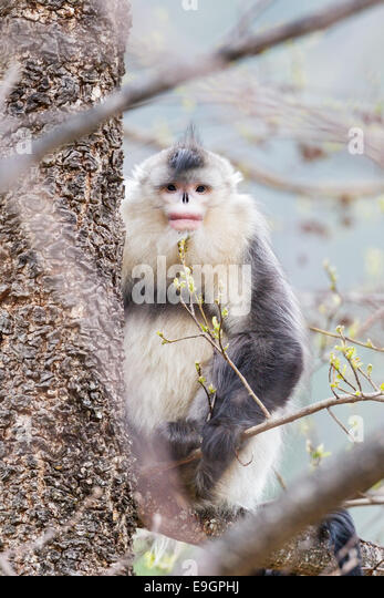 Adult male Yunnan Snub-nosed Monkey (Rhinopithecus bieti) resting a tree - Stock Image