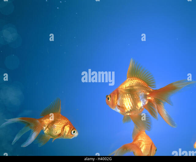 Whitefishes stock photos whitefishes stock images alamy for Ornamental carp fish