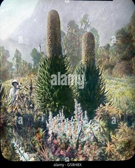 Ein Tropenforscher in seinem Element mit einer Staudenpflanze. India, Asia, travel, jungle, history, historical, - Stock Image