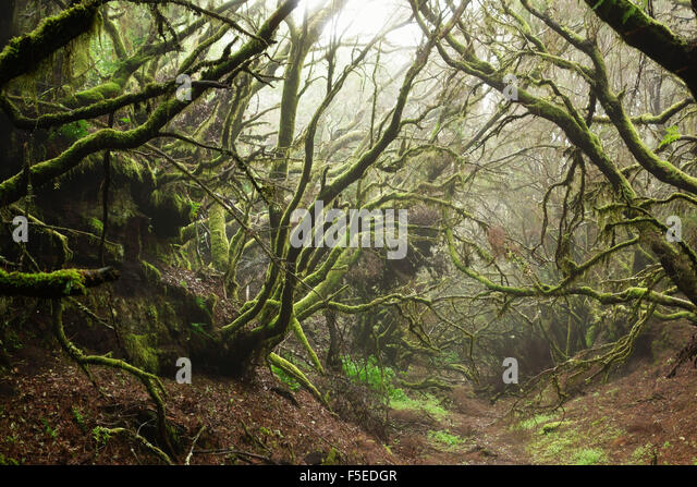 Laurel forest in fog, El Hierro, Canary Islands, Spain, Europe - Stock-Bilder