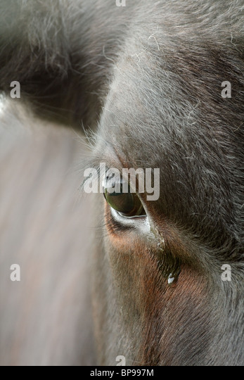 close-up of bullock's eye - Stock Image