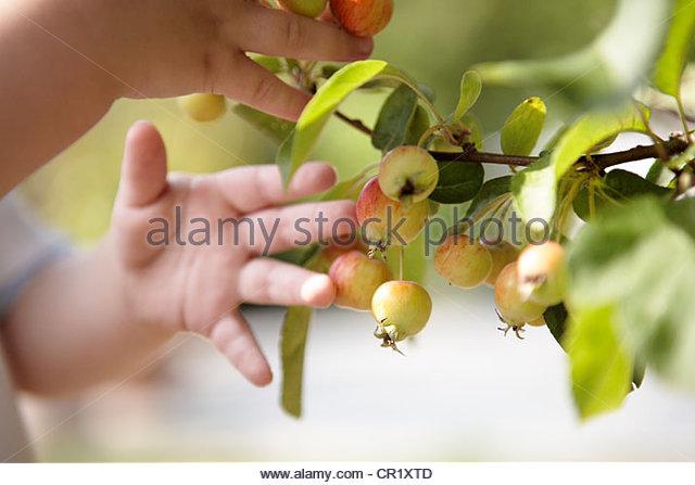 Toddler picking fruit off plant - Stock Image