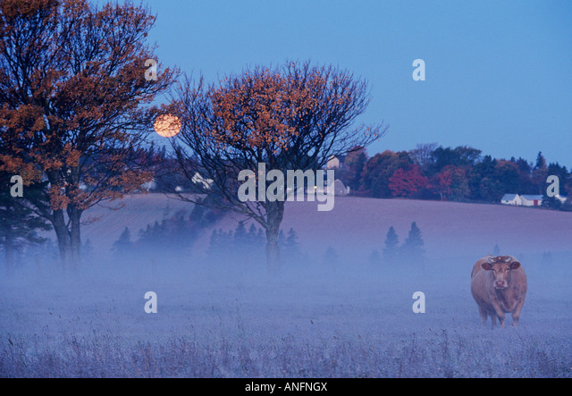 Cow under a Harvest Moon, Meadow Bank, Prince Edward Island, Canada. - Stock Image
