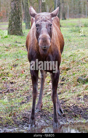 elk, European moose (Alces alces alces), cow moose standing at a puddle in a forest, front view - Stock Image