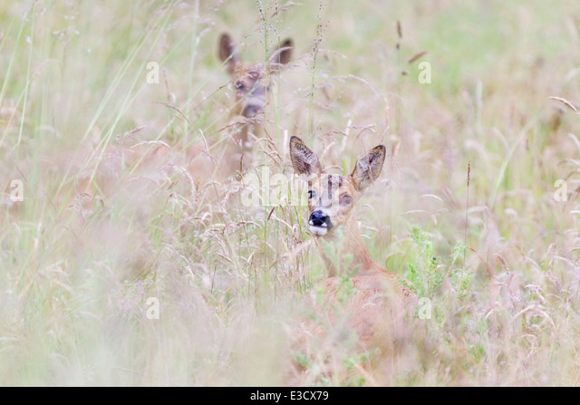 Two female Roe deer moving through tall wet grass of a rainy summer, Norfolk, England - Stock Image