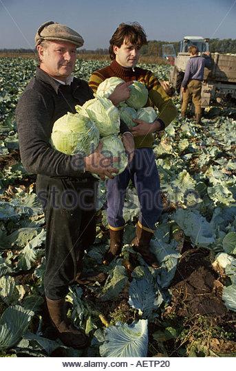 Estonia Tallin father son farmers harvesting cabbage - Stock Image
