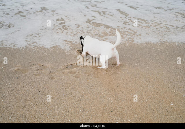 A Jack Russell terrier digging the sand at the waters edge of Falmouth's Gyllyngvase Beach. - Stock Image