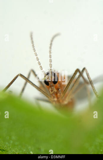 Head and antennae of a female predatory midge, Aphidoletes aphidimyza - Stock-Bilder
