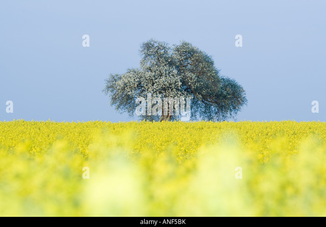 Field of canola with tree in blossom - Stock Image