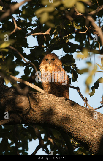 Pel's Fishing Owl roosting in tree, Moremi Camp, Dead Tree Island, Okavango Delta (Scotopelia peli) - Stock-Bilder
