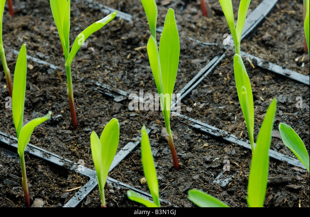how to get a corn seedling from a corn plant