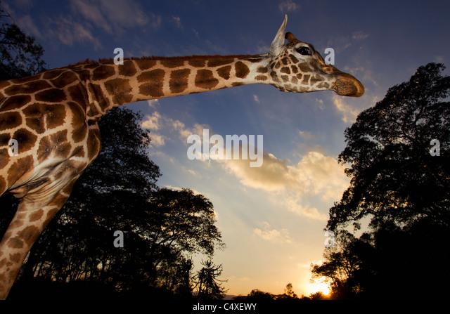 Rothschild Giraffe (Giraffa camelopardalis rothschildi) Is one of 9 subspecies of giraffe.Giraffe Manor Kenya. Dist. - Stock-Bilder