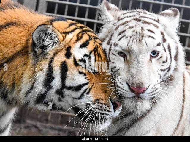 Tempelfelde, Germany. 4th Oct, 2017. Tigers 'Diego' (l) and Heike, photographed in their enclosure at the - Stock Image