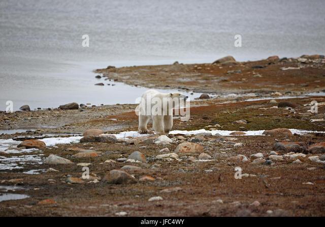 A polar bear at the Hudson Bay - Stock Image