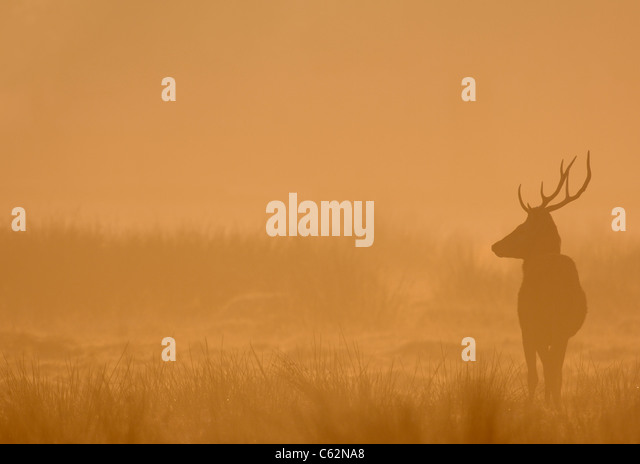 RED DEER Cervus elaphus A young male silhouetted in dawn mistLeicestershire, UK - Stock-Bilder