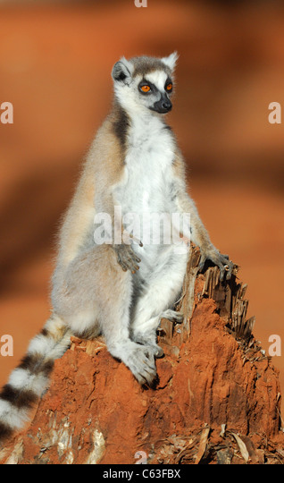 Ring-tailed Lemur in the Berenty Reserve, Madagascar, August 2010. - Stock Image