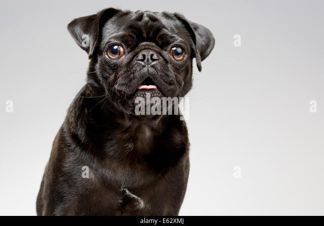 Studio portrait of black pug dog - Stock Image