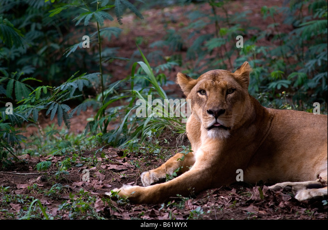 Panthera leo persica - photo#41