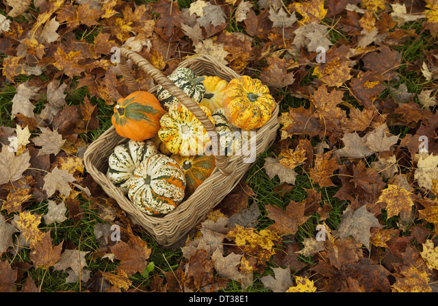 Autumn leaves on the ground. A trug or basket with a selection of squashes and gourds. Vegetables.  Organic farming. - Stock Image