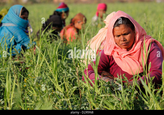 Women harvesting beans, Uttar Pradesh, India, Asia - Stock Image