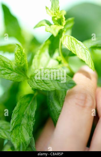 Fresh mint - Stock Image