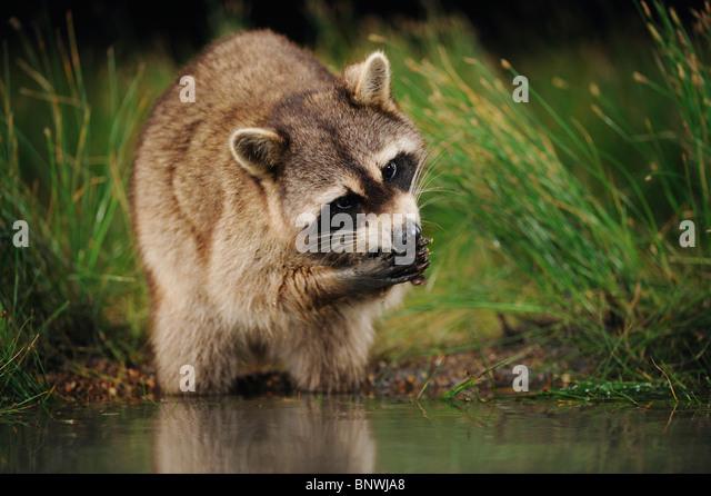 Northern Raccoon (Procyon lotor), adult at night feeding in wetland lake, Fennessey Ranch, Refugio, Coastal Bend, - Stock Image
