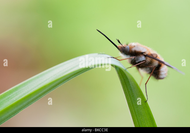 Bombylius major. Bee fly resting on a leaf - Stock Image