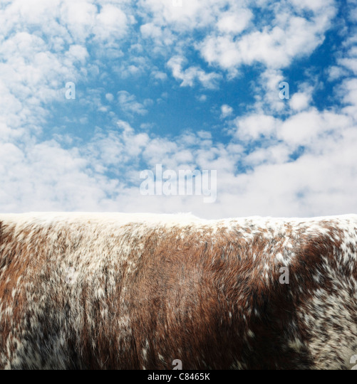 Close up of cow's body against blue sky - Stock Image