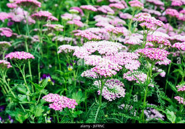 Wisconsin Kenosha Simmons Island Southport Lighthouse flower garden pink - Stock Image