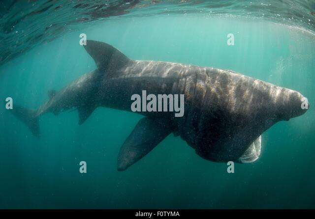 Basking shark - Stock Image