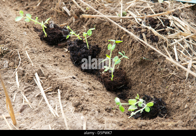 Planting out pea seedlings in a row. - Stock Image