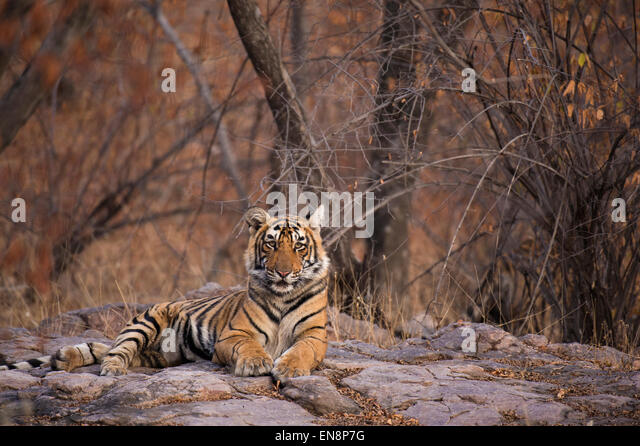 Sub adult tiger sitting on rocky ground in Ranthambhore national park in India - Stock-Bilder