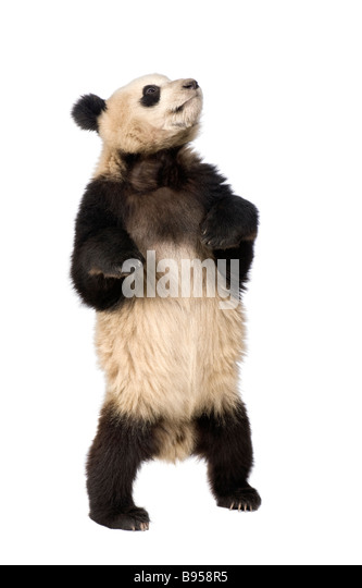 Giant Panda 18 months Ailuropoda melanoleuca in front of a white background - Stock Image