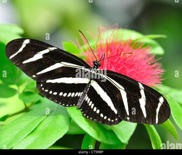 Zebra Longwing (Heliconius Charitonius) Butterfly - Stock Image