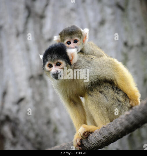 Black-capped squirrel monkey with its cute little baby in zoo - Stock Image