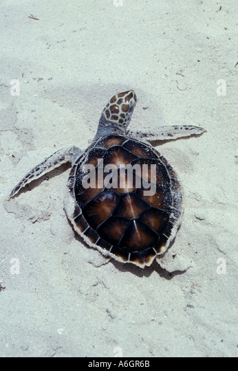 Green Sea Turtle Hatchling struggling on sand to reach the water - Stock Image