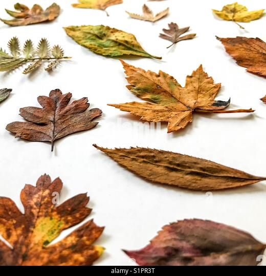 Autumn leaves isolated on a white background - Stock Image
