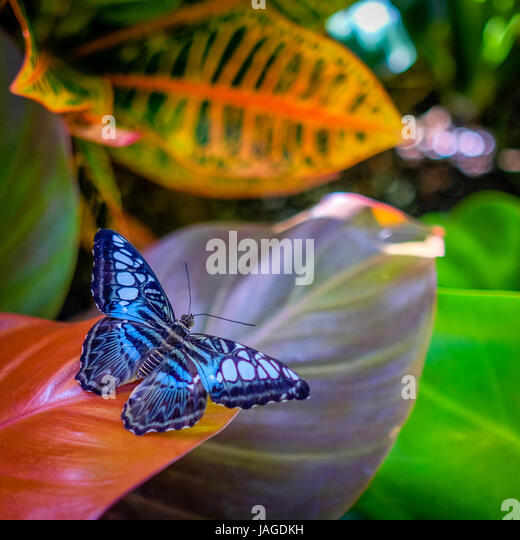 Beautiful bright iridescent blue butterfly resting on a tropical plant. - Stock Image