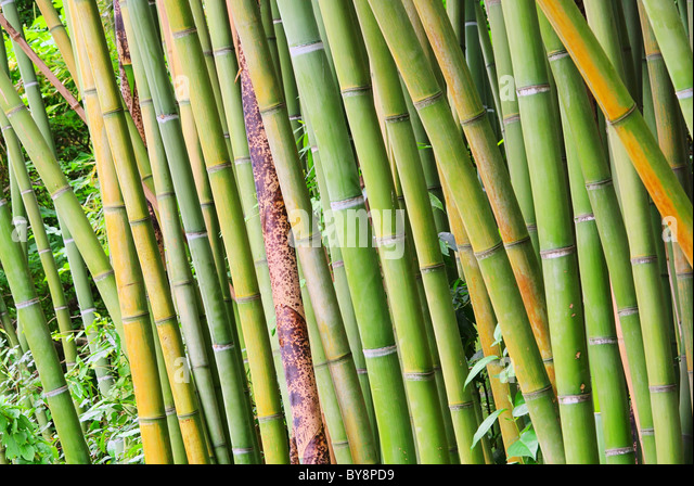 phyllostachys bissetii stock photos phyllostachys. Black Bedroom Furniture Sets. Home Design Ideas