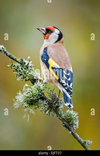 Goldfinch perched on a lichen covered branch - Stock Image