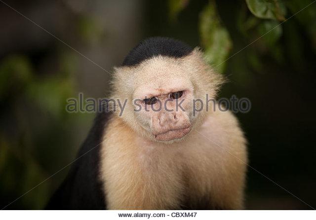 White-throated Capuchin, sci.name; Cebus capucinus, on an island in Gatun lake, Colon province, Republic of Panama. - Stock Image