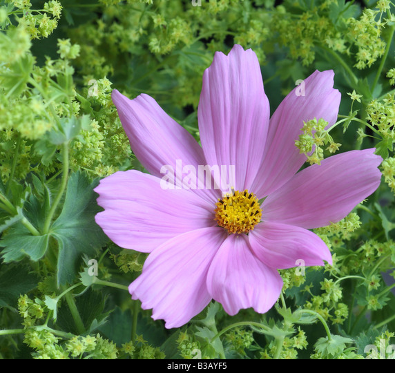 Pink Cosmos and Ladies Mantle, Alchemilla mollis - Stock Image