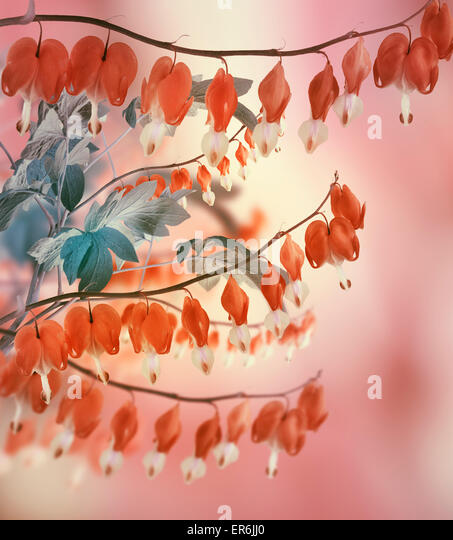 Bleeding Heart Flowers,Close Up - Stock Image